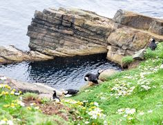 Shetland: they have puffins!