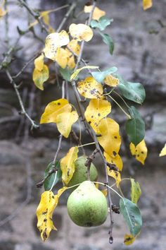 pear tree with yellow leaves
