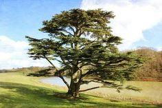 For a Graceful Evergreen, Plant the Cedar of Lebanon