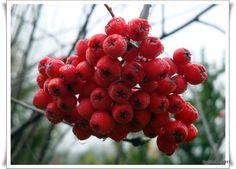 Frutos silvestres en Villa La Angostura (Provincia del Neuquén)