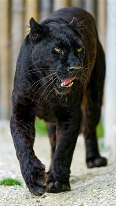 A black panther is not a species in its own right; the name black panther is an umbrella term that refers to any big cat with a black coat. Animals And Pets, Baby Animals, Cute Animals, Wild Animals, Beautiful Cats, Animals Beautiful, Big Cats, Cats And Kittens, Black Panther Cat