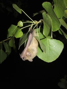 The western yellow bat is a medium to large-sized bat with yellowish-buff to light brownish fur, tipped with gray or white. This species' wingspan ranges from 13-14 inches, its ears are shorter than many other species, but their length is larger than their width. The anterior half of skin between the legs is well-furred, while the posterior half is bare or almost bare. Western yellow bats feed on a variety of insects including ants, wasps, bees, flies, mosquitoes, butterflies, moths…