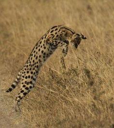 Serval. Africa. Large ears ,long legs, short tail.