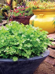 A Better Way to Grow Cilantro | Try this method for a fast, continuous crop