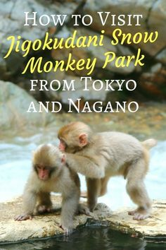 The aim of this article is to help you plan your visit to see the snow monkeys in Jigokudani Monkey Park.