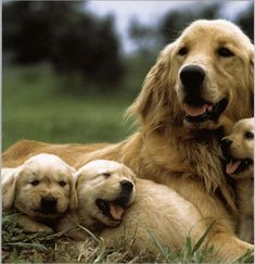 Golden family
