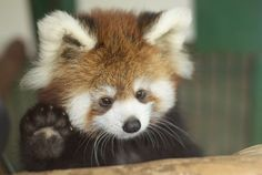 """Hey guys, I can't come out and play right now. Momma said I'm grounded."" Beyond adorable baby red panda."