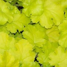 Buy Heuchera Lime Rickey Perennial Plants Online. Garden Crossings Online Garden Center offers a large selection of Coral Bells Plants. Shop our Online Perennial catalog today!