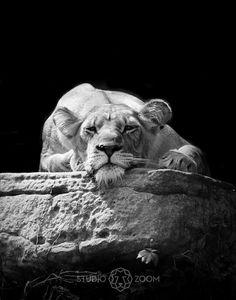 AFRICAN LIONESS, BIG CAT PRINT IN BLACK AND WHITE- Shadows of the Zoo by Julie Wright