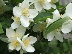 Heirloom Variety: Mock Orange - (Woody Perennial Shrub) (Philadelphus Coronarius) 15 Seeds/Pack. ~starting from seed truly makes them yours, but it takes several years to complete. This 1 is so worth