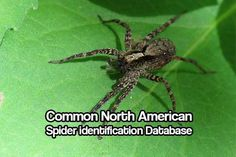North American Spider identification. Are you looking for an up to date database with all of the common north american spiders on it? This is your article.
