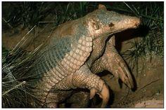 Este es uno de los animales de la fauna Paraguaya y Sudamericana amenazado de extinción. Posee un gran tamaño, puede llegar a medir 1,50 m incluyendo la cola, y pesar hasta 60 Kg.Puede llegar a tener hasta 100 pequeños dientes, pero los va perdiendo con la edad, a pesar de esto no debemos temer un mordisco de este animal, pues sus mandíbulas son muy débiles en proporción al tamaño de su cráneo