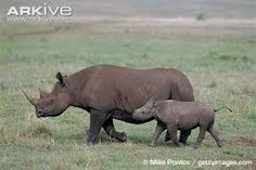 Scientific Name:	Black (Diceros bicornis), white (Ceratotherium simum) Size:	About 60 inches at the shoulder Weight:	1 to 11/2 tons (black rhino), over 2 tons (white rhino) Lifespan:	35 to 40 years Habitat:	Grassland and open savannas Diet:	Vegetarian Gestation:	16 months Predators:	Humans