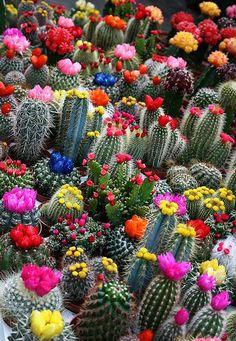 Cactus Splendor
