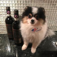 I voted! Now time for Pomeranians and Chianti. #lehighvalleyphotographer #pomeranian #pomeraniansofinstagram #ivoted