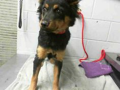 #A476539 Release date 12/12 I am a female, black and brown Chihuahua - Long Haired. Shelter staff think I am about 2 years old. I have been at the shelter since Dec 05, 2014.   City of San Bernardino Animal Control-Shelter. https://www.facebook.com/photo.php?fbid=10204076384327465&set=pb.1160364024.-2207520000.1417905608.&type=3&theater