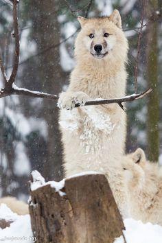 ☀Polarwolf oder Weißwolf (Canis lupus arctos) (by Mladen Janjetovic)