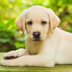 Basic introductory Information on the Yellow Labrador retriever...including a cute video of the Andrex puppy! Awwwww :-) http://www.labradortraininghq.com/labrador-breed-information/yellow-labrador-retriever/
