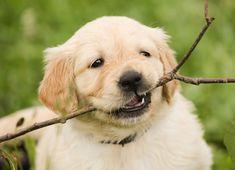 Cómo evitar que un cachorro muerda - http://www.mundoperros.es/como-evitar-que-un-cachorro-muerda/