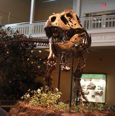 Carnegie Tyrannosaurus pt 2: a second adult rex http://archosaurmusings.files.wordpress.com/2011/11/img_6979.jpg
