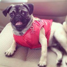 Este es Theo #pug con su nuevo chaleco rojo súper rockero.