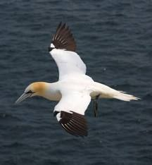 Northern Gannets in search of a delectable fish dinner.