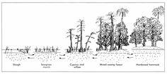 P66. south florida ecosystem succession