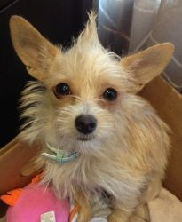 Stormy is an adoptable Terrier Dog in Carrollton, TX. My name is Stormy, I am a 10 month old hot mess, I mean terrier mix. I used to live at a place called Dallas Animal Control, and somehow I ended u...