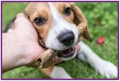 Are you interested in a Beagle? Well, the Beagle is one of the few popular dogs that will adapt much faster to any home. Art Beagle, Beagle Puppy, Corgi, Pet Dogs, Dogs And Puppies, Doggies, Pocket Beagle, Easiest Dogs To Train, Dog Training Tips