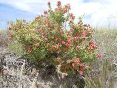 GRSP - Grayia spinosa (Hook.) Moq. spiny hopsage - Perennial- Shrub Subshrub