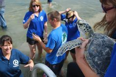 Say farewell to Charger! Charger, California, Ricky Bobby and Yoda were all released today after being rehabilitated here at CMA! Dolphin Tale 2, Clearwater Marine Aquarium, Bethany Hamilton, Ricky Bobby, Marine Biology, Tortoises, Sea Turtles, Marine Life, Dolphins