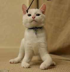 Harvey the kitten was born without bones in his front legs, but the little guy has learned to walk on his elbows and is as happy as he can be.
