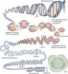 Tissue Biology, Biology Art, Biology Lessons, Cell Biology, Science Biology, Dna Genetics, Molecular Genetics, Human Cell Structure, Human Memory