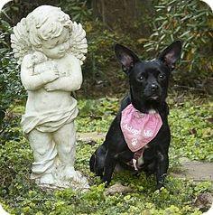 Durham, NC - Chihuahua. Meet Baby Girl, a dog for adoption. http://www.adoptapet.com/pet/11671933-durham-north-carolina-chihuahua