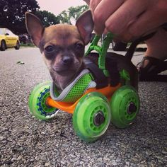 TurboRoo, a chihuahua born without its front legs, was given 3D printed wheels made by a company called 3dyn. Now he's training to be a service/educator dog so that he can inspire children with similar disabilities!