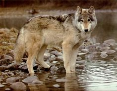 wolf pics   Find The Biggest Animals Kingdom and in The World