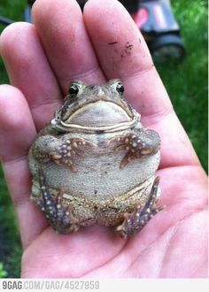 Chubby toad will see you now. - Far too adorable to not be spread. Fat Animals, Animals And Pets, Funny Animals, Funny Frogs, Cute Frogs, Reptiles And Amphibians, Frog Pictures, Animal Pictures, Chubby