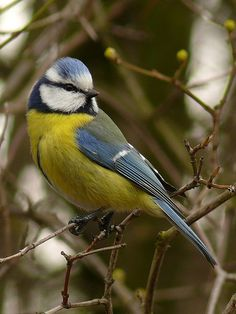 The Blue Tit (Cyanistes caeruleus[2] or Parus caeruleus[3]) is a small passerine bird in the tit family Paridae. The bird is easily recognisable by its blue and yellow plumage, but various authorities dispute their scientific classification. Blue tits, usually resident and non-migratory birds, are widespread and a common resident breeder throughout temperate and subarctic Europe and western Asia.