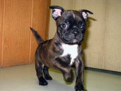 I WANT ONE its called a bug (a boston terrier pug mix).... How adorable!