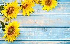 sunflower head can contain as many as 1000 to 2000 SEEDS. Summer Backgrounds, Flower Backgrounds, Wallpaper Backgrounds, Colorful Backgrounds, Flower Background Wallpaper, Background Pictures, Sunflower Iphone Wallpaper, Growing Sunflowers, Sunflower Pictures