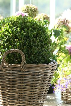 Boxwood in baskets