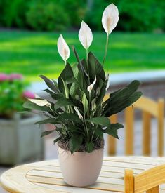 Spathiphyllum or Peace Lily Buy indoor and outdoor plants Peace Lily, Diy Flowers, Flower Vases, White Flowers, Beautiful Flowers, Plantas Indoor, Chlorophytum, Growing Plants Indoors, Decoration Plante