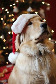 Cuddle Me Cozy! Golden Retriever with Santa Clause hat on at Christmas