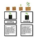"""Includes four beautiful detailed models (up to 3"""") showing the stages of development from bean to plant. The material also includes matching 5 part cards."""
