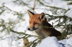 Snow Fox by Eva Lechner
