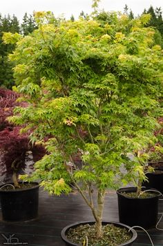Acer palmatum 'Sekka Yatsubusa' - A dwarf dark green with compressed leaves giving a layered look. Leaves emerge light-green with orange highlights and become shiny dark green by summer. Fall color is yellow to orange.