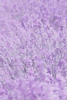 Whisper In Purple Flowers by Poppy Thomas-hill - Purple aesthetic - Light Purple Wallpaper, Purple Flowers Wallpaper, Light Purple Flowers, Purple Wallpaper Iphone, Pastel Flowers, Purple Backgrounds, Light Purple Background, Boquette Flowers, Flowers Bucket