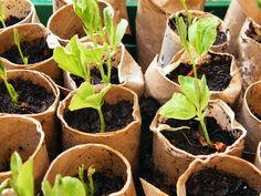 sweetpeas in toilet tube planters-great reusable idea for planters!