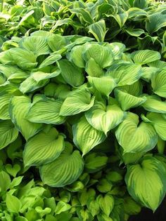 The Hosta Guacamole is one of those rare and hard to find fragrant hostas. Most Hostas have little to no scent but this one has a very strong fragrance and very large white flowers. All fragrant Hostas are from the Hosta plantaginea line. This Hosta plant Hosta Plants, Heuchera, Shade Perennials, Shade Plants, Garden Plants, Sun Hostas, Jardins D'hostas, Gardening, Succulents