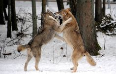 Due lupi nel parco naturalistico di Eekholt in Gemania (CARSTEN REHDER/AFP/Getty Images)